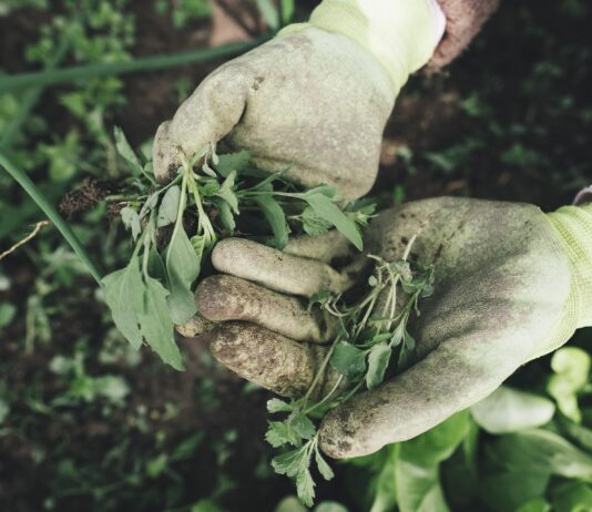 A woman holding weeds that she pulled by hand instead of using a weed killer sprayer
